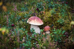 Two large boletus in the forest, edible mushroom porcini