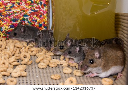 Two large brown house mice, Mus musculus, showing their three offspring how to raid a kitchen pantry cabinet of food. #1142316737