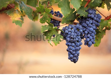 Two large bunches of red wine grapes hang from a vine, warm background color.