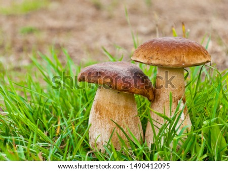 Two large edible mushroom (boletus edulis bull, borowik szlachetny, prawy, prawdziwek) in grass. Mushroom picking in Poland. Zdjęcia stock ©