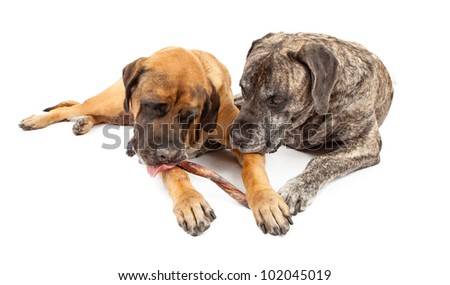 Two large English Mastiff dogs laying together against a white backdrop and sharing a bully stick