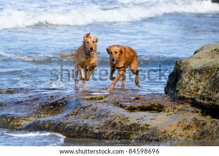 Two large Golden Retriever dogs running on the beach over some large rocks