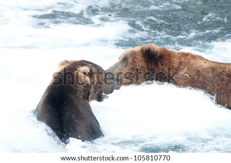 Two large grizzly bears growl and fight while fishing for salmon in Brooks Falls in Katmai National Park