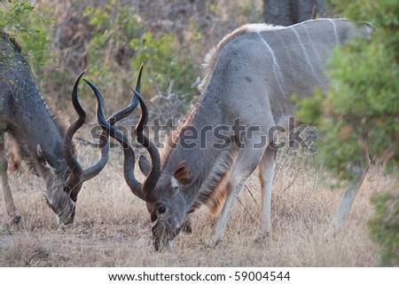 Two large kudu bulls feeding together