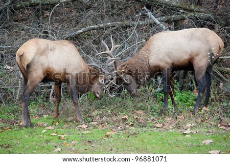 Two large male wild Elk with antlers locked in the Great Smoky Mountains National Park