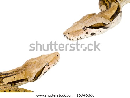 two large snakes (Boa Constrictor) meeting each other