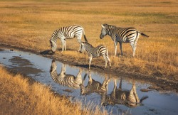 Two large zebras and one small zebra are reflected in the water. They are located in the biosphere reserve