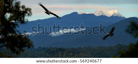 Two largest flying birds in the world,  Andean condor, Vultur gryphus gliding against Antisana volcano, Ecuador. Panoramic photo of ecuadorian cloud forest with vultures and volcano, covered in snow.