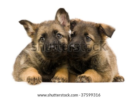 two laying German shepherds puppys isolated on white background