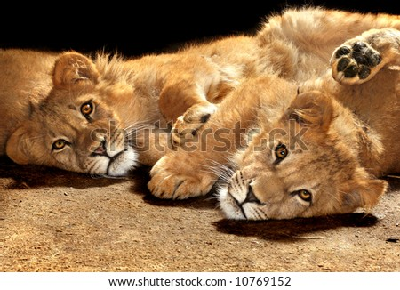 Two lazy young lions looking at the camera