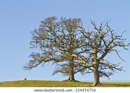 Two leafless winter trees against a blue sky - stock photo