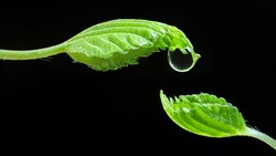 Two leaves of tree close-up. On one is drop of water. Leaves are directed towards each other. Banner 16:9. Concept of environment, water, plants. Metaphorical image of the conservation of nature, life