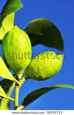 Two lemons. - stock photo