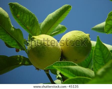 Two lemons on a tree
