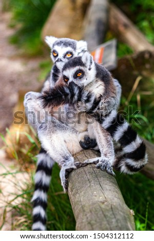 Two lemurs sitting on a fence. Front lemur holding his tail