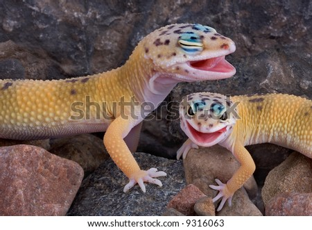 Two leopard geckos appear to be laughing together.