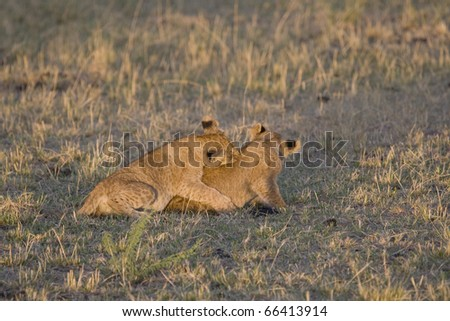 Two lion cubs play on the plains of the Masai Mara.