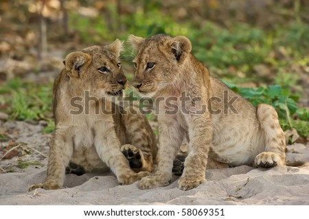 Two lion cubs seems to talk to each other