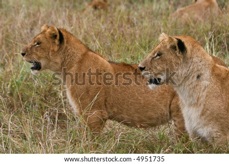 two lion cubs standing together looking into distance