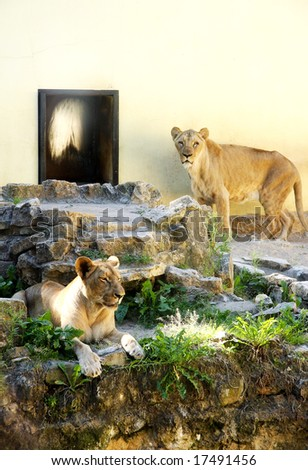two lioness bored in zoo
