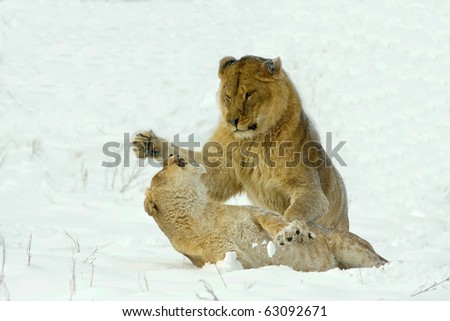 two lioness fighting in a  winter scene