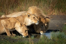 Two lionesses and one male lion drinking water together in Ndutu in Tanzania