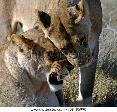 Two lionesses great each other in the Savuti region of northern Botswana  #709495990