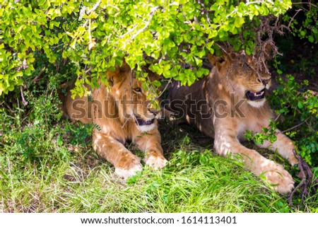 Two lionesses rest in the shade of a bush in the savannah. Kenya, Masai Mara Park. Jeep - safari  in spring in the Africa. Predatory mammal. Concept of exotic, extreme tourism and photo tourism