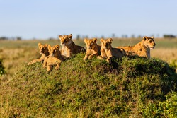 Two Lionesses with four cubs on a termite hill enjoy the sun in Masai Mara, Kenya