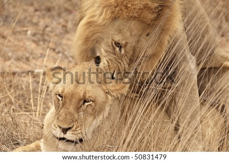 Two lions mating in the grass