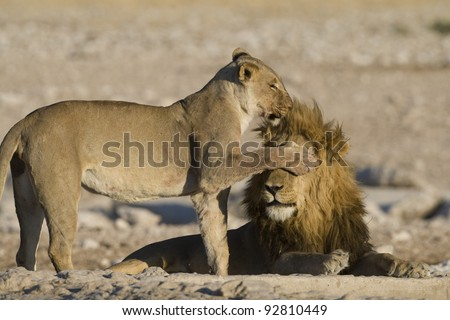 Two lions (Panthera leo). Female covering the eyes of the male with her paw. Etosha National Park, Namibia, Africa. by Hal Brindley