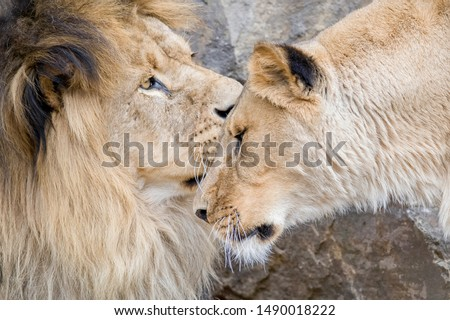 Two lions (panthera leo) showing affection
