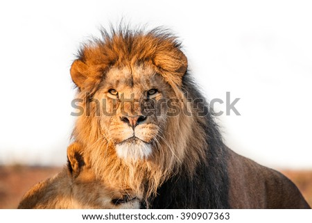 stock photo two lions together on the savannah in the sunlight 390907363 - Каталог — Фотообои «Животные»