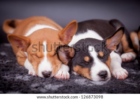 Two Little Basenji puppies, 2 mounth, on the black background