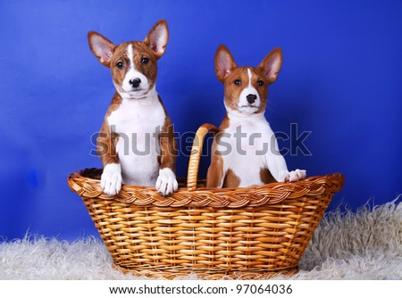 Two little Basenji puppys, 2 month, on the blue background