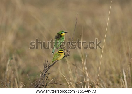 Two Little Bee-eaters on a Branch