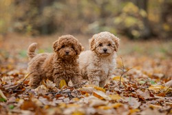 Two little brown poodles. Small puppy of toypoodle breed. Cute dog and good friend. Dog games, dog training. Be my friend.