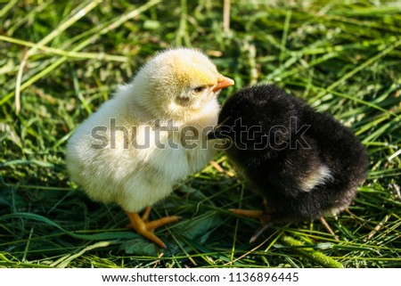Two little chicken. Black and yellow chicken. Chickens on green grass. #1136896445