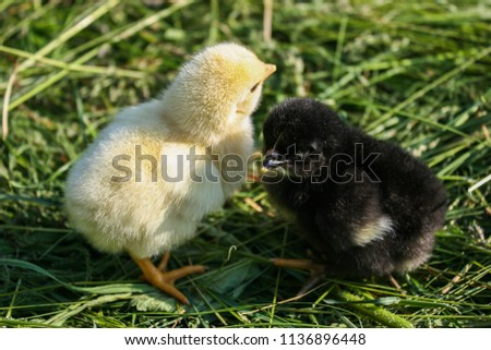 Two little chicken. Black and yellow chicken. Chickens on green grass. #1136896448