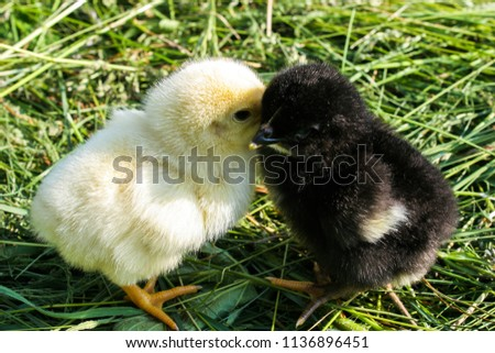 Two little chicken. Black and yellow chicken. Chickens on green grass. #1136896451