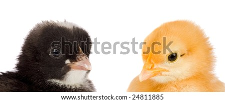 Two little chickens of different colors on a over white background