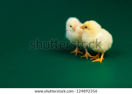 Two little chicknens on green background