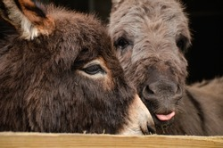 Two little, cute miniature donkeys cuddling. One is sticking out his tongue.