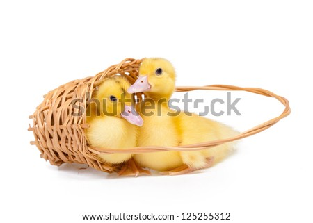 Two little ducks in wooden basket on white background