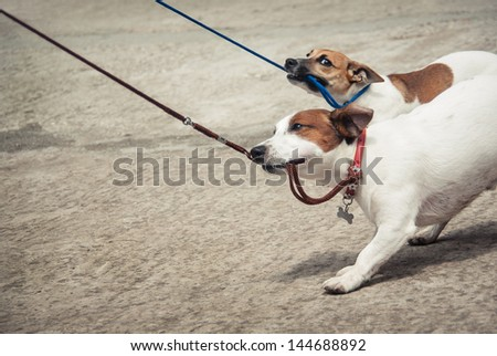 Two little funny dog. Breed dogs - Jack Russell Terriers, cute dog on a leash walks in the park. #144688892