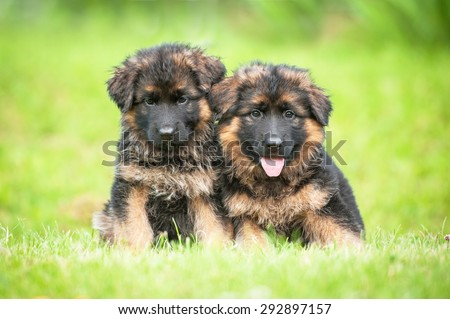Two little german shepherd puppies