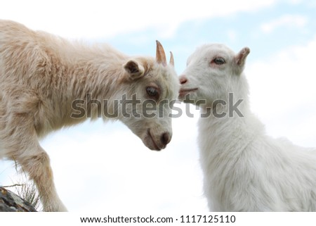 Two little goats on the blue sky background