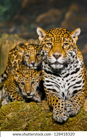 Two little Jaguar Cubs and their mother looking into the camera