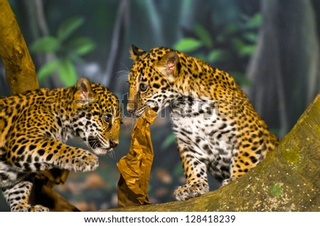 Two little Jaguar Cubs playing with piece of  paper