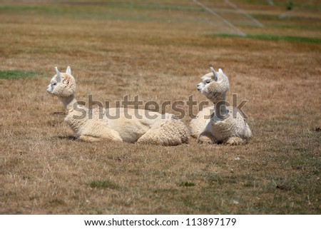 Two little lamas on the grass